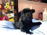 Black french bulldog yavrum teslime hazır