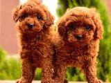 Mini Toy Poodle Bebekler