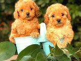 Red (kızıl) Toy Poodle