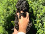 Siyah İnci Toy Poodle Bebeklerimiz