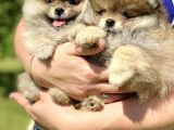 Irk Belgeli Ayı Surat Boo Pomeranian Yavrular