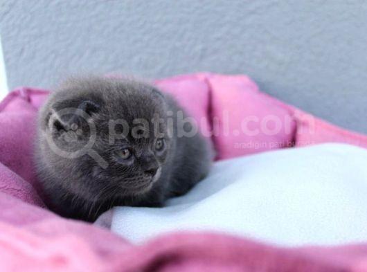 Schotish Fold Bebeklerim