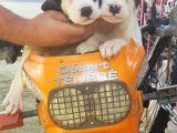 70 günlük Dogo Argentino Yavrular