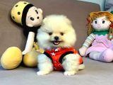 Mini Boy Boo Pomeranian Yavrular