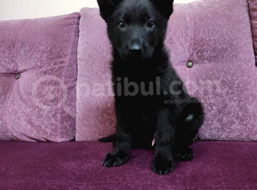 Siyah Alman Çoban
