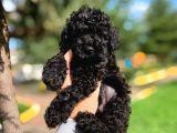3 Aylık 1.100 GR Orjinal Black Toy Poodle Yavrumuz