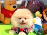 SCR Sertifikalı Yarışma Düzeyi TeddyBear Pomeranian Boo