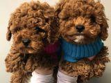 Safkan Red Toy Poodle Yavrularimiz