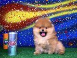 SCR Sertifikalı Birbirinden Güzel Pomeranian Boo Yavru