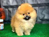 Evde Bakıma En Uygun Irk Safkan Pomeranian Boo