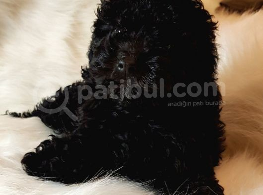 Veteriner Teknikerinden Black Toy Poodle
