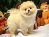 Hekimden Irk ve Sağlık Onaylı Ayıcık Yüz Pomeranian Boo