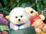 Birbirinden Güzel Safkan TeddyBear Pomeranian Boo