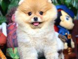 Birbirinden Güzel Sıfır Burun Ayıcık Surat Pomeranian Boo