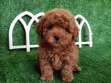 Safkan Red Toy Poodle Yavrumuz İrk Garantili