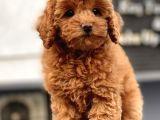 Mi̇ni̇ Toy Poodle Yavrularimiz