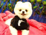 Safkan Teddy Bear Oğlumuz Yeni Yuvasını Arıyor