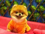 16 Aylık Erkek Pomeranian