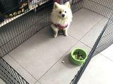 Pomeranian Spitz Büyümeyen Küçük Irk