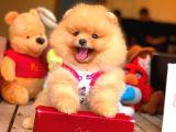 Her Hafta Güncellenen TeddyBear Pomeranian Yavruları