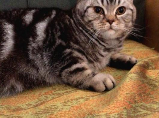 7 Aylık Sosyal ve Oyuncu Tiger Tabby British Shorthair