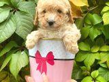 Apricot Kayısı Renk Toy Poodle Yavrularımız
