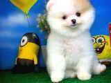 @yavrupatiler den Safkan Pomeranian Boo Yavru Oğlumuz Papiş