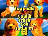 @yavrupatiler Den Safkan Toy Poodle Apricot Yavru Oğlumuz Melon