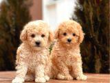 Mi̇ni̇ Toy Poodle Bebekler