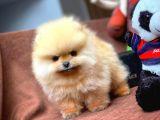 Birbirinden Güzel Sıfır Burun TeddyFace Pomeranian Boo