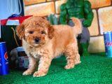 @Yavrupatiler Güvencesiyle Toy Poodle yavrularımız