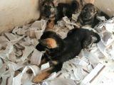 Alman Çoban Köpeği Yavruları