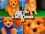 @yavrupatiler Safkan Red Toy Poodle Anti̇alerji̇k Oyuncu Irk Yavrusu / Reddy