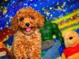En Iyi Kalıte Tcup Red Toy Poodle Yavrularımız