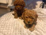 Red Brown Di̇şi̇ Ve Erkek Toy Poodle Yavrulari