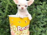 Elma Kafa Mini Chihuahua Erkek Yavrumuz