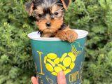 Mini Yorkshire Terrier Yavrularımız