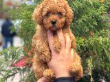 Red Toy Poodle Di̇şi̇ Yavrularimiz