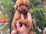 Red Brown Toy Poodle Erkek Yavrular