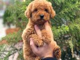 Red Brown Dişi Toy Poodle Yavrular