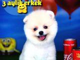 @yavrupatiler'den Pomeranian Boo Beyaz Yavru Oğlumuz Snowbross / Yarişma Düzeyi̇