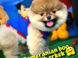 Pomeranian Boo Oyuncu Yavrumuz Supermen / Yavrupatiler Den