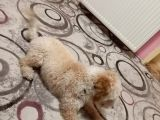 Poodle - Malti̇po Arasi Görünüme Sahi̇p Kisir Erkek.