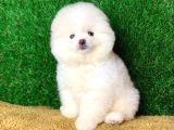 Safkan Ayi Surat Şecereli Pomeranian Yavrularimiz