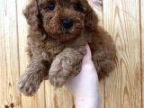 Red Brown Toy Poodle Erkek Yavrularımız