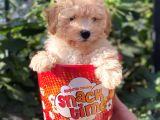 Tüy Dökmeyen Koku Yapmayan Toy Poodle Yavruları