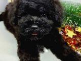 Safkan Black Toy Poodle Yavrularimiz
