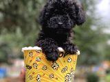 Irkının En İyisi Safkan Black Poodle Kızımız