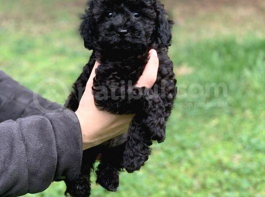 Orjinal Black Poodle Kızımız Irk Garantili