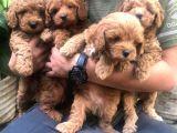 Dünya Tatlısı Poodle Yavruları